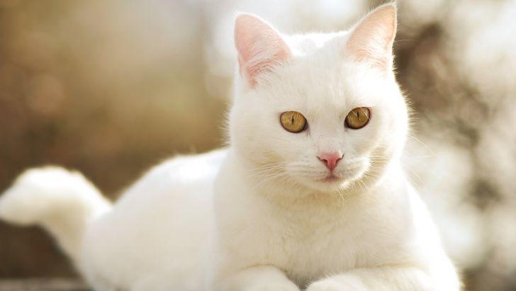 همه چیز در مورد گربههای سفید-@ITPetnet