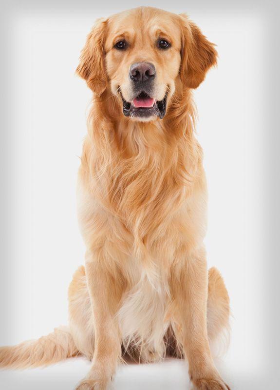سگ رتریور