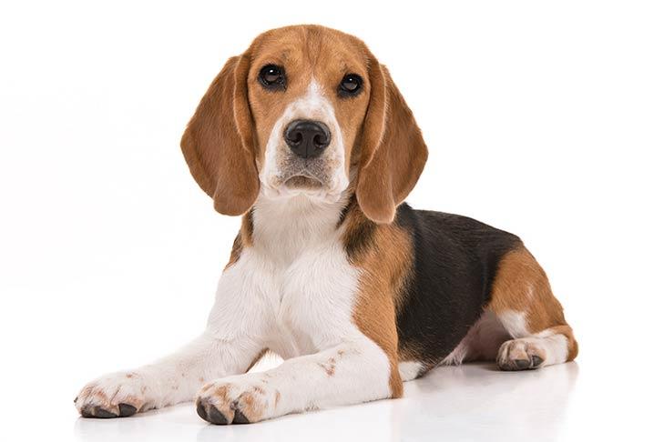 Beagle On White 07 سگ های وفادار
