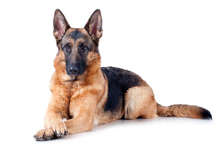 German Shepherd on White 00 سگ های وفادار