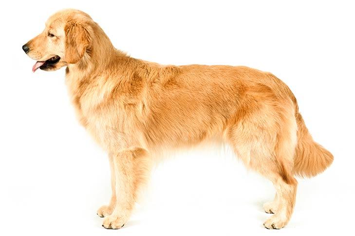 GoldenRetriever سگ های وفادار