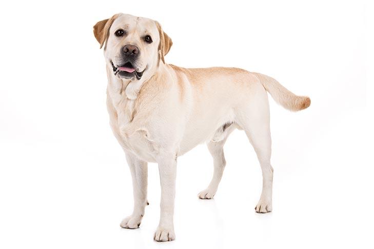 Labrador Retriever On White 01 سگ های وفادار