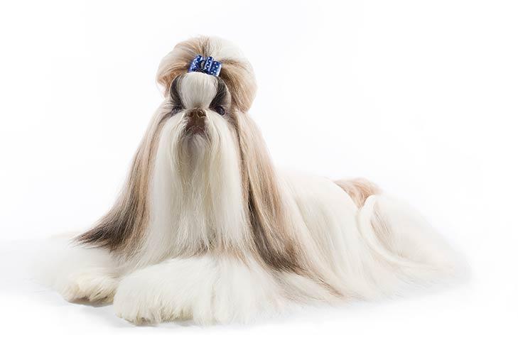 Shih Tzu On White 03 سگ های وفادار